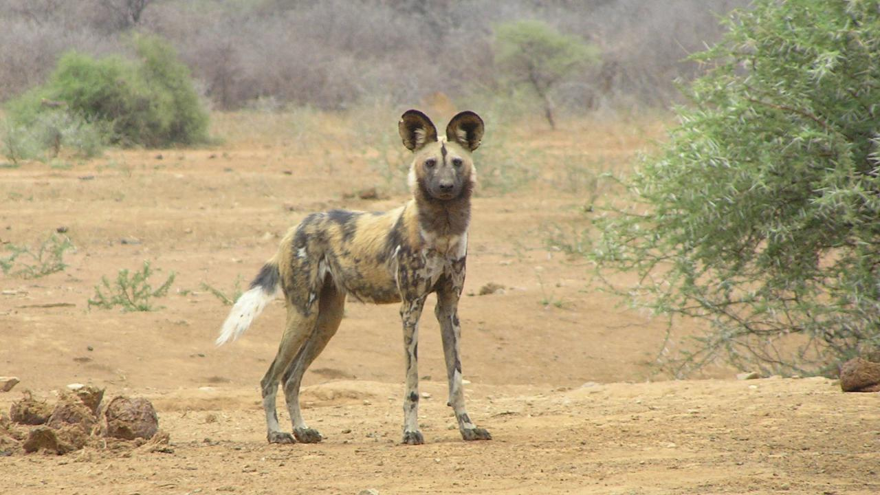 Wild Dog Pictures South Africa