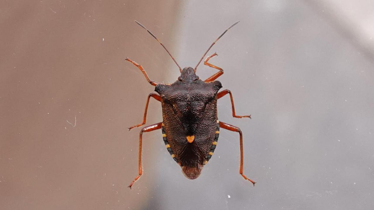 Red-legged Shield Bug