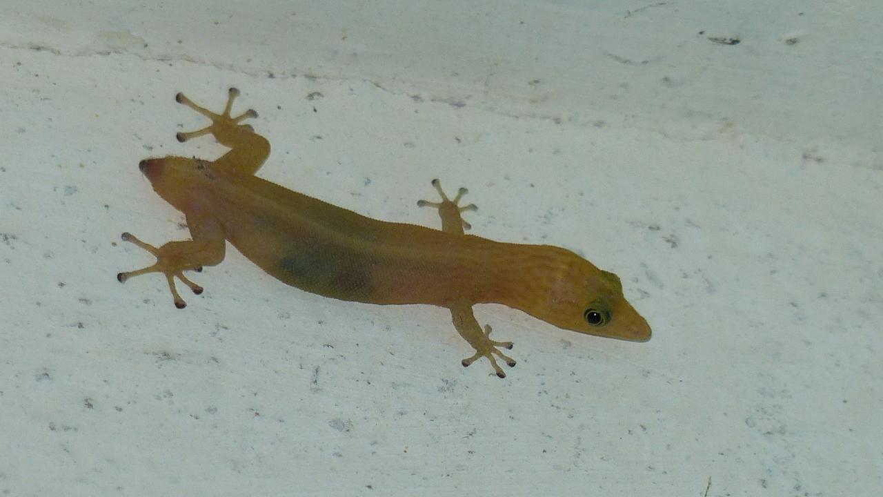 tropical house gecko | markeisingbirding