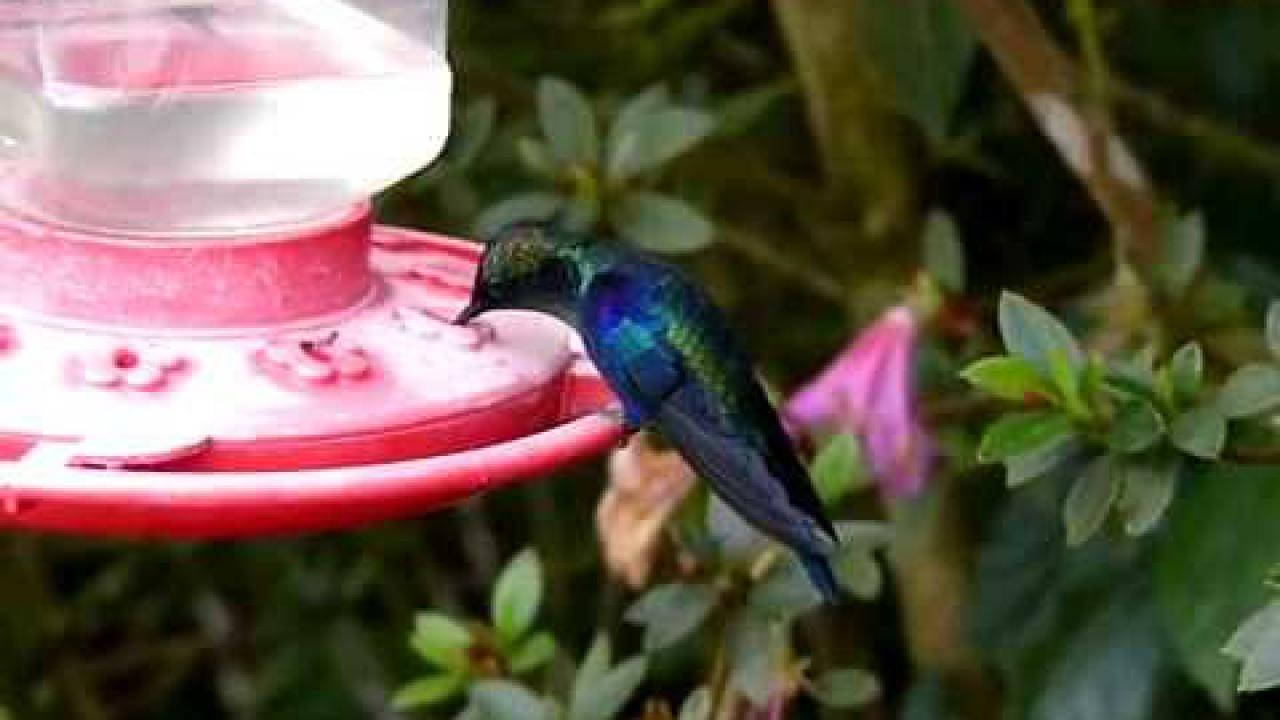 Embedded thumbnail for Colombia: Violet-crowned Woodnymph (male)