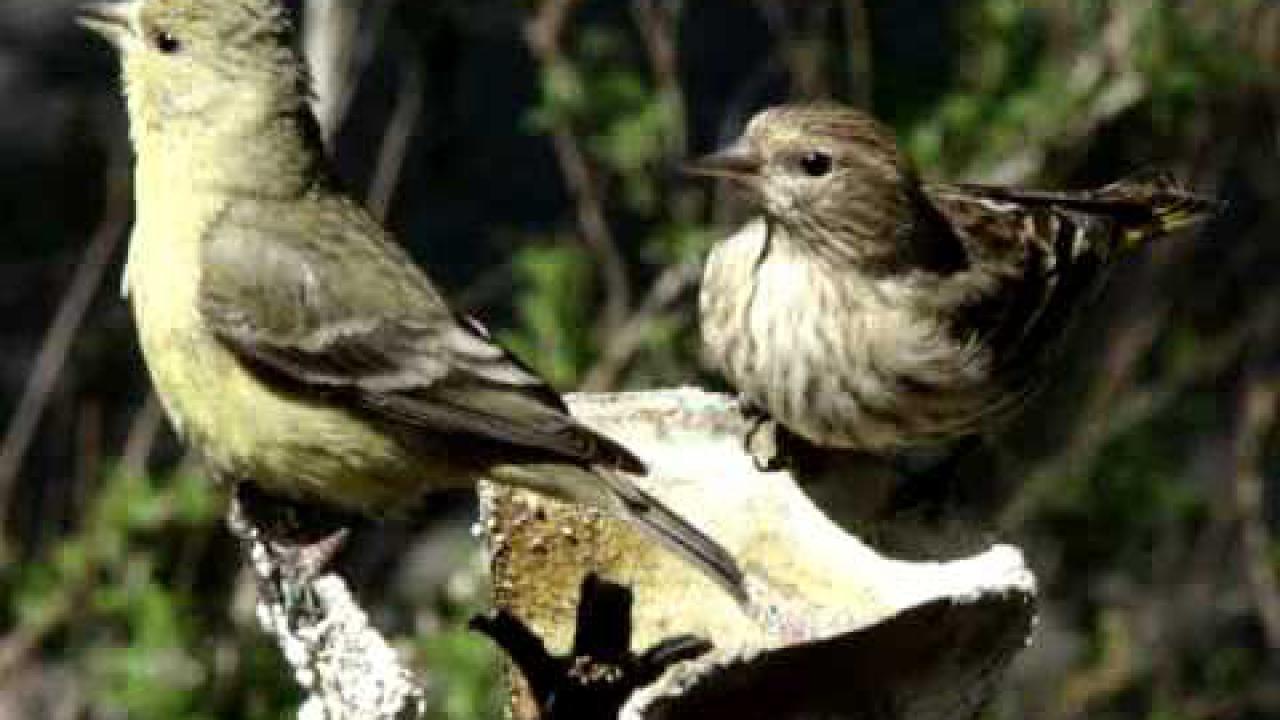 Embedded thumbnail for Arizona (USA): Lesser Goldfinch & Pine Siskin