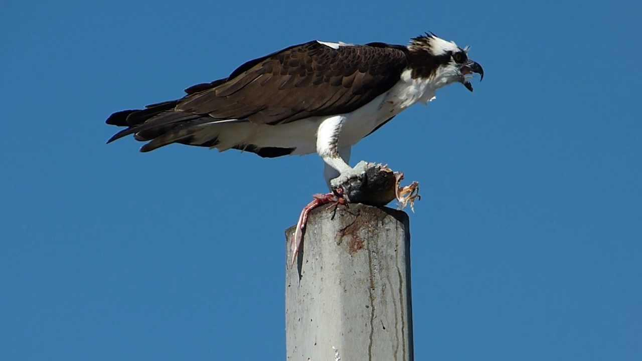 Embedded thumbnail for Florida (USA): Osprey