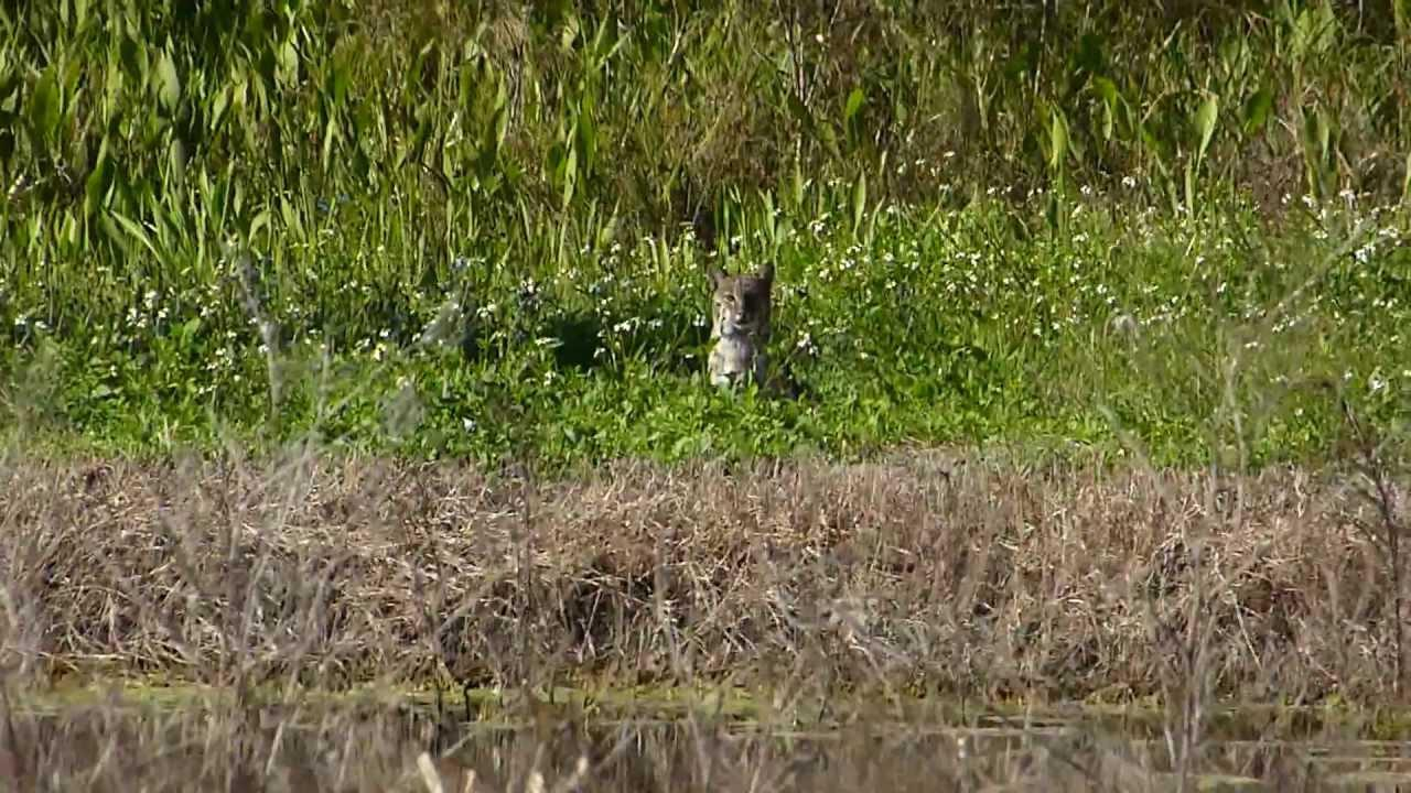 Embedded thumbnail for Florida (USA): Bobcat