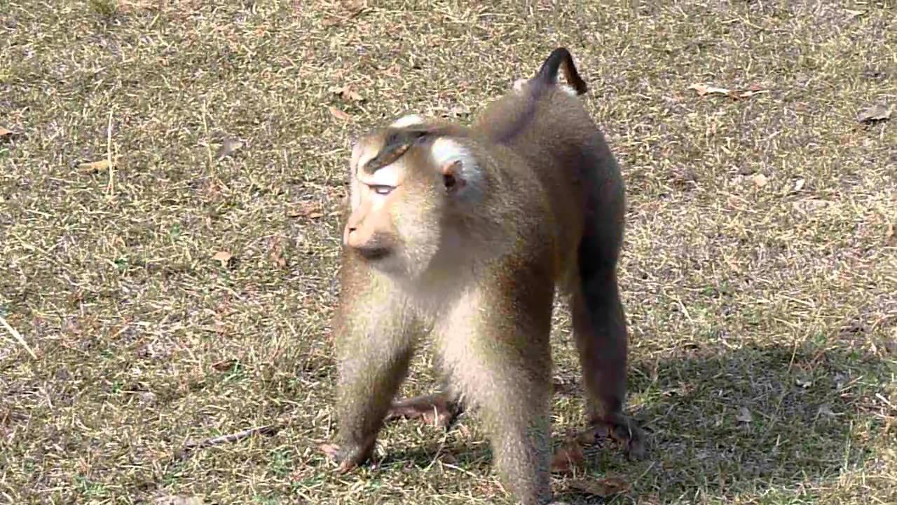 Embedded thumbnail for Thailand: Pig-tailed Macaque