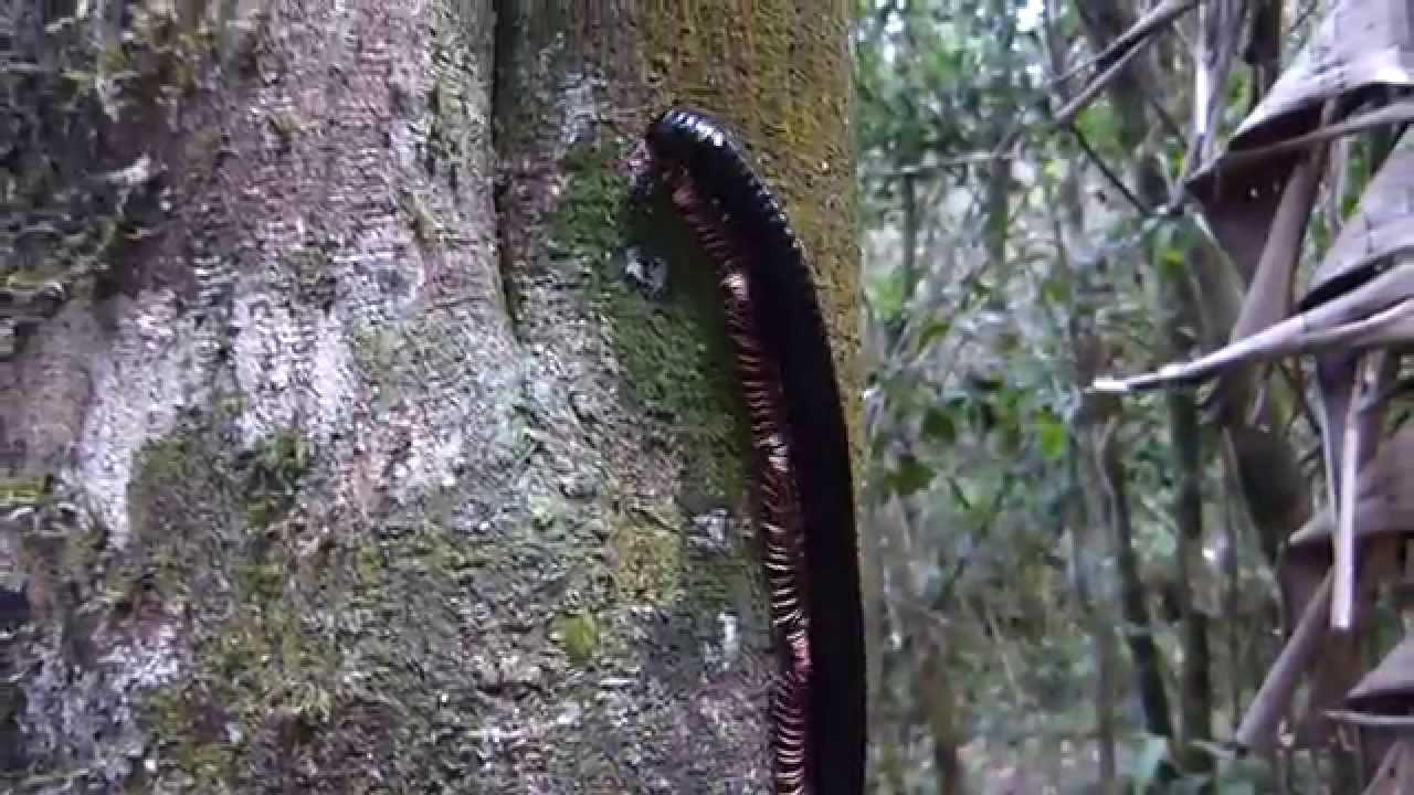 Embedded thumbnail for Madagascar: Giant Millipede sp.