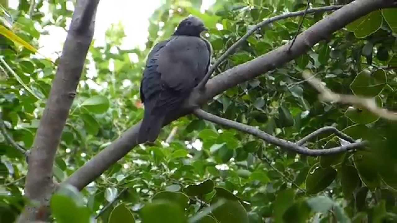 Embedded thumbnail for Florida (USA): White-crowned Pigeon