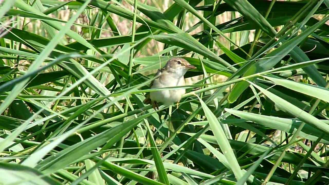 Embedded thumbnail for The Netherlands: Eurasian Reed-warbler - Singing