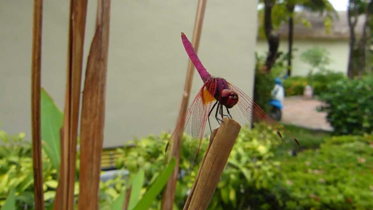 Embedded thumbnail for Thailand: Crimson Marsh Glider - Male