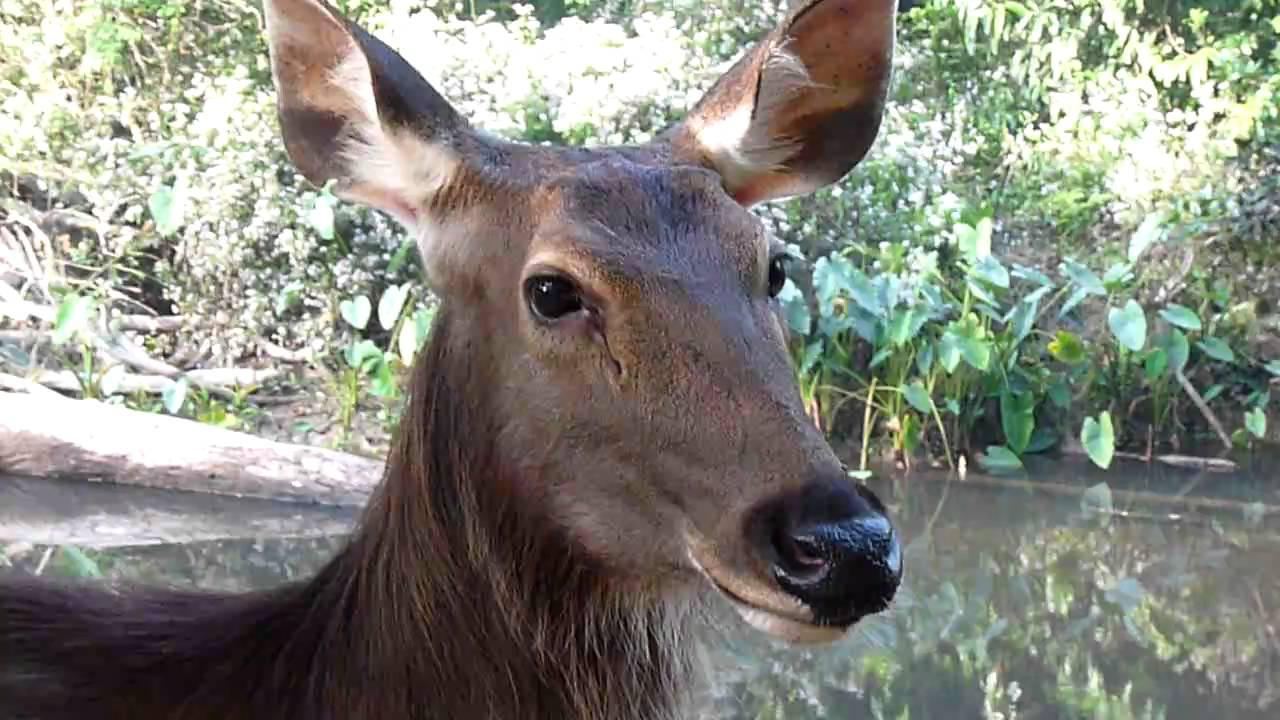 Embedded thumbnail for Thailand: Sambar Deer - Close-up