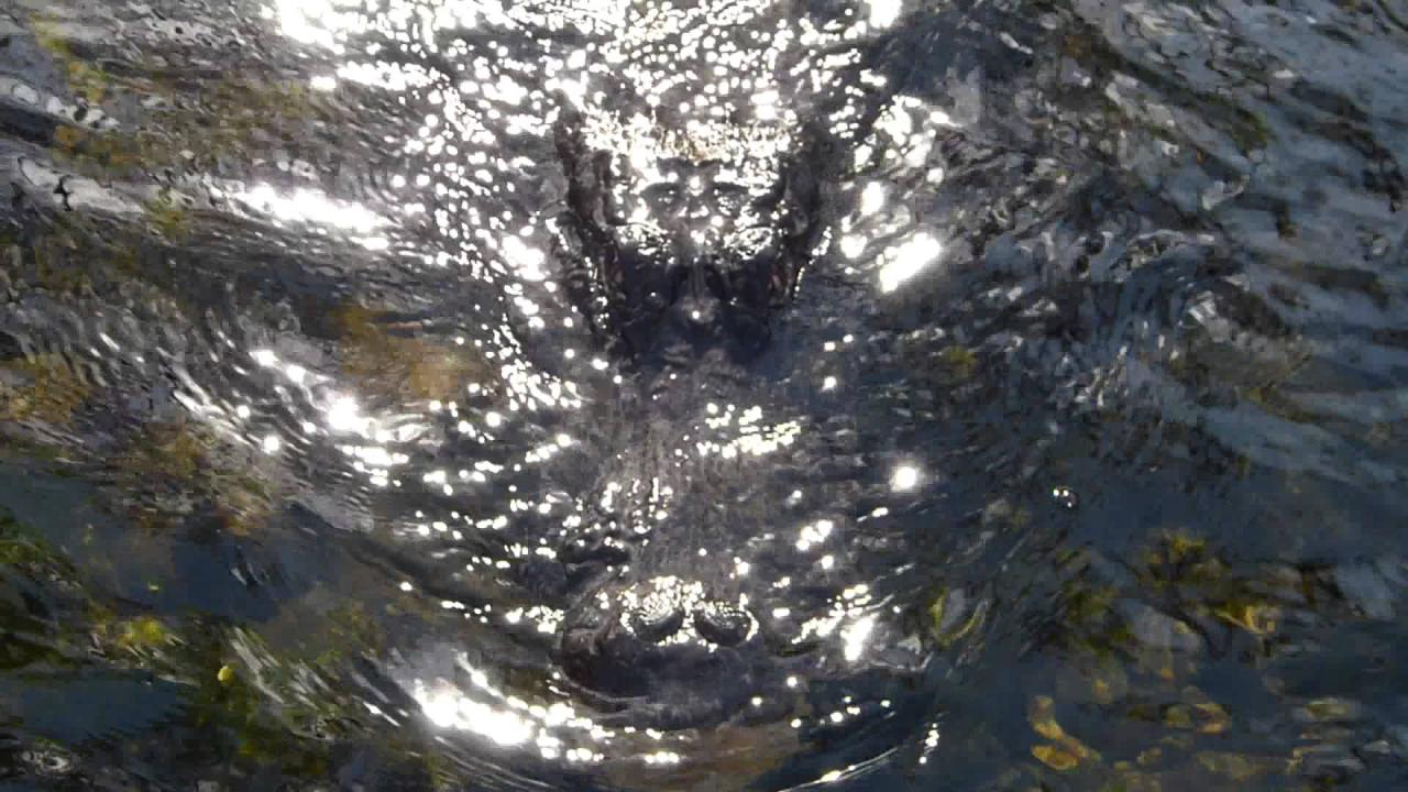 Embedded thumbnail for Florida (USA): Aligator under water