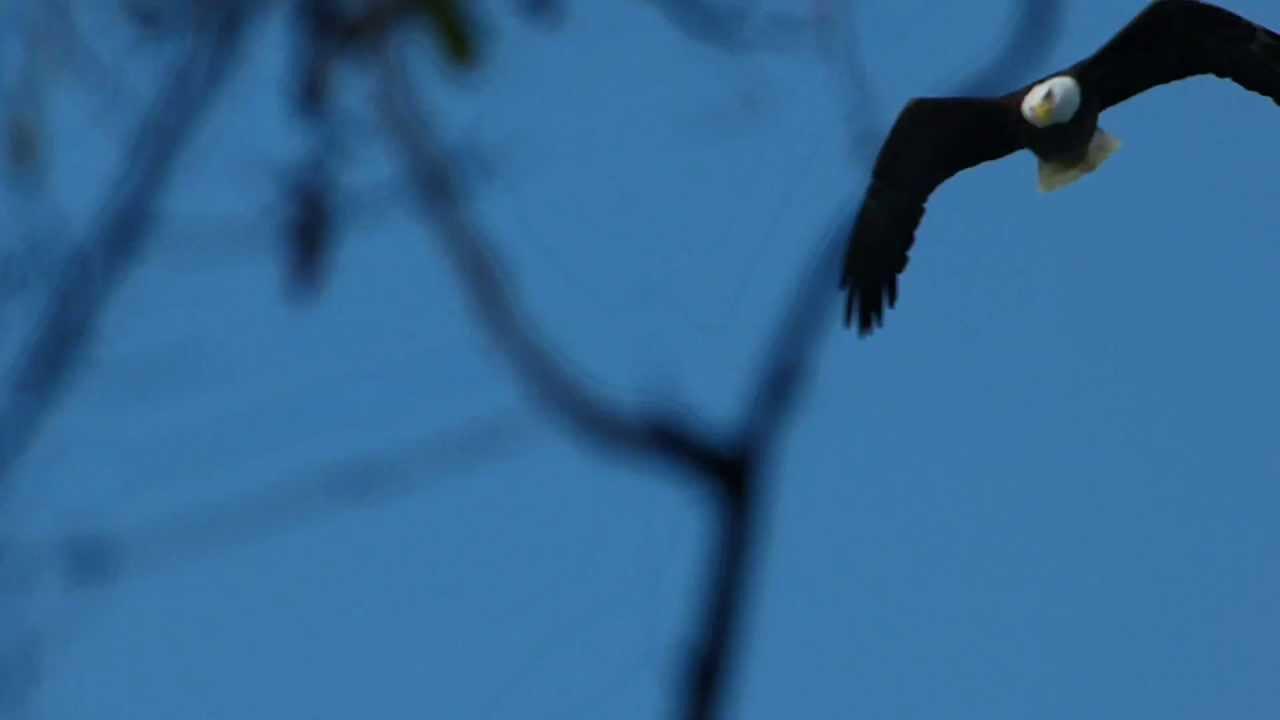Embedded thumbnail for Florida (USA): Bald Eagle