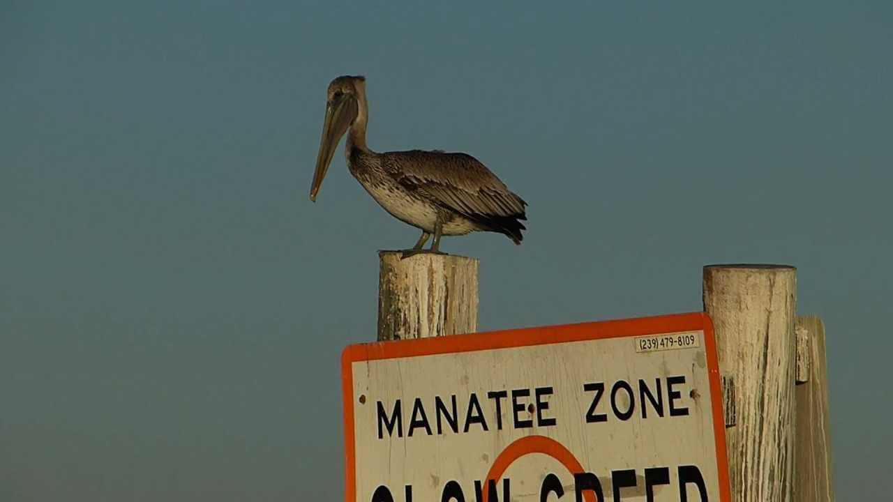 Embedded thumbnail for Florida (USA): Brown Pelican
