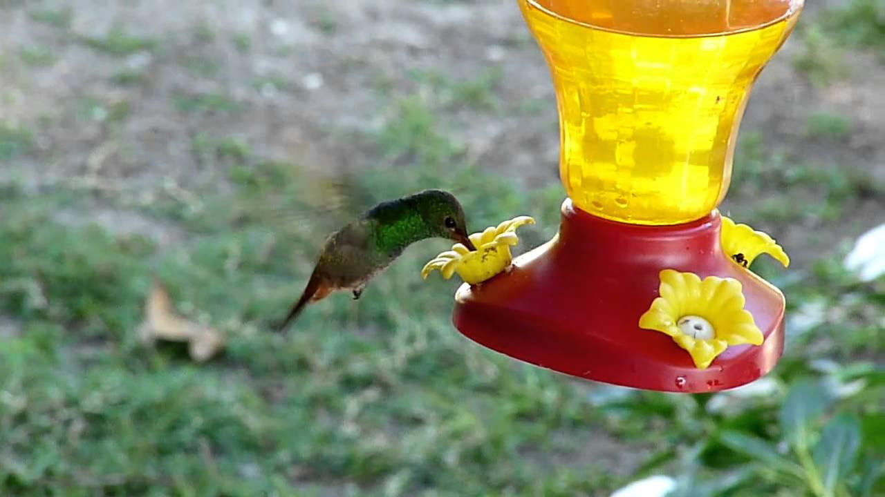 Embedded thumbnail for Belize: Rufous-tailed Hummingbird