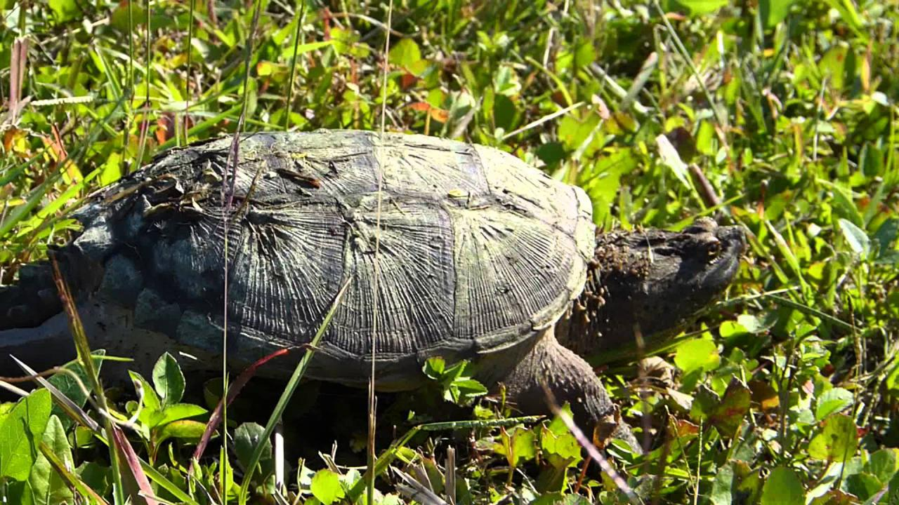 Embedded thumbnail for Florida (USA): Florida Snapping Turtle