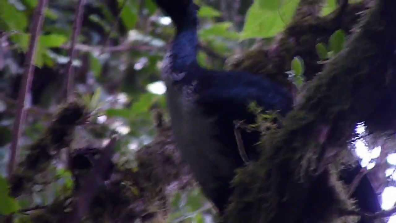 Embedded thumbnail for Mexico: Horned Guan