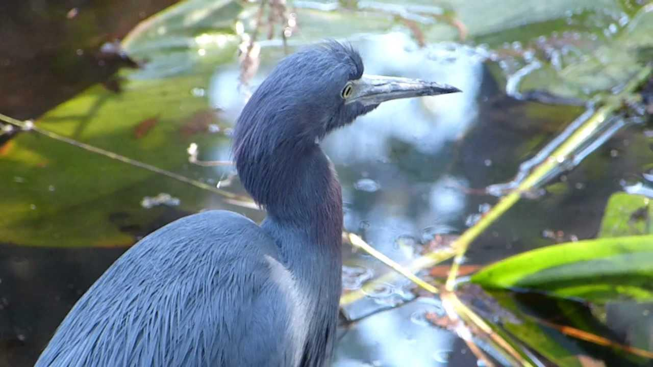 Embedded thumbnail for Florida (USA): Little Blue Heron