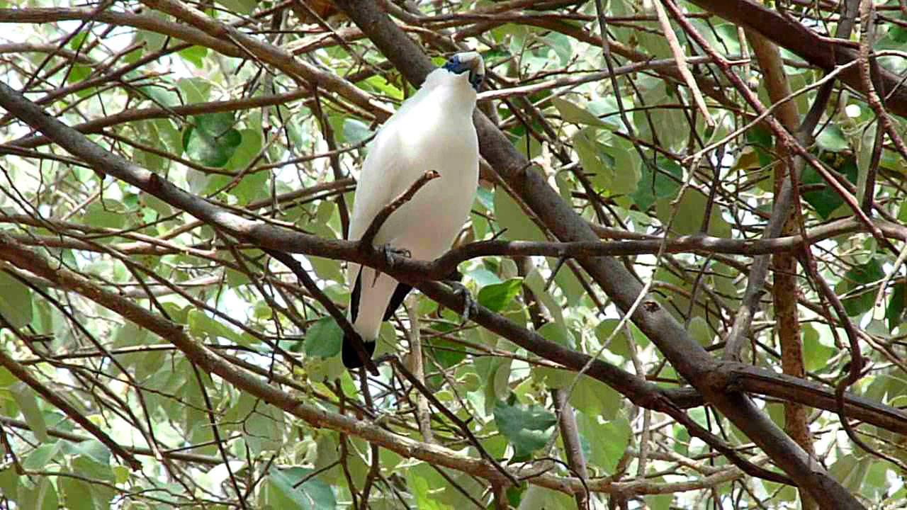 Embedded thumbnail for Indonesia: Bali Myna