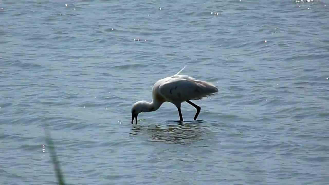 Embedded thumbnail for The Netherlands: Eurasian Spoonbill - Foraging