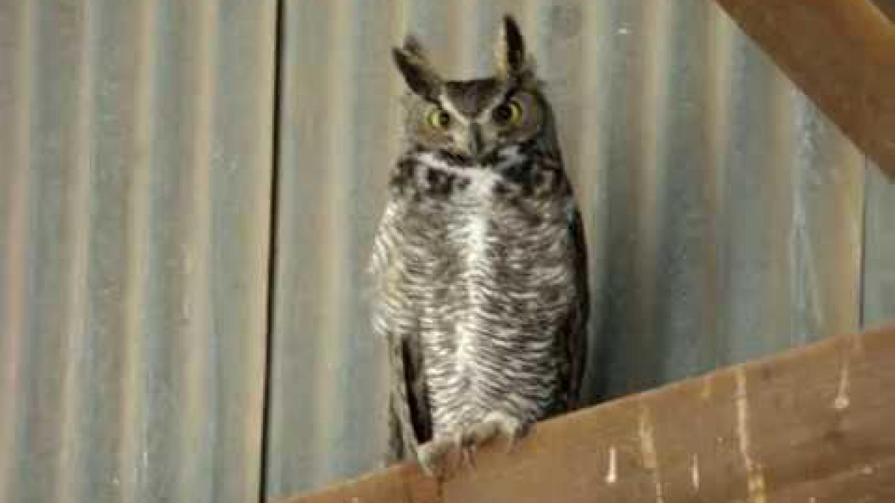 Embedded thumbnail for Arizona (USA): Great Horned Owl