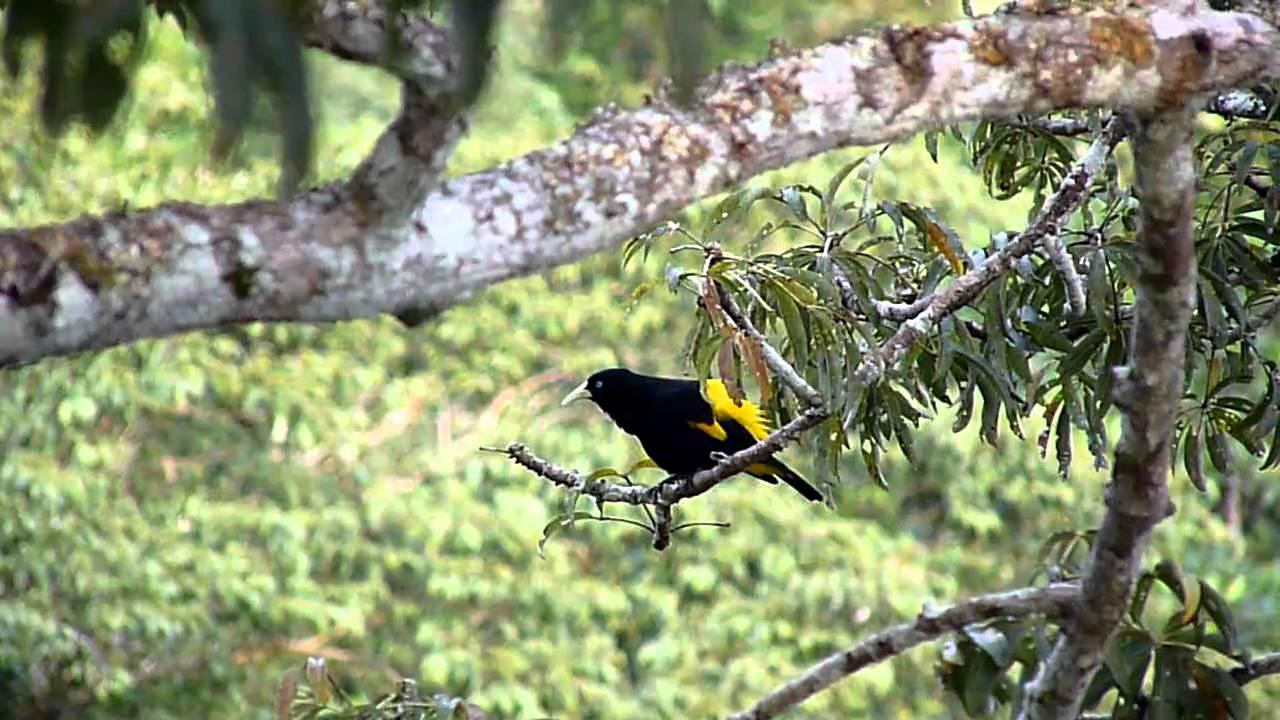 Embedded thumbnail for Peru: Yellow-rumped Cacique
