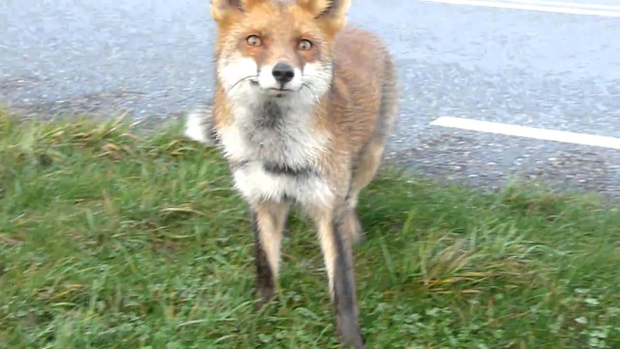 Embedded thumbnail for The Netherlands: Red Fox - Close-up