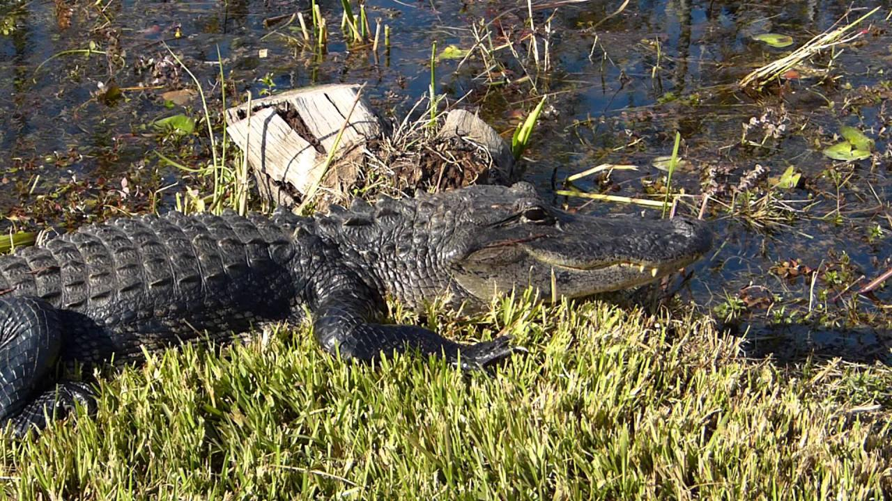 Embedded thumbnail for Florida (USA): Aligator - Close-up