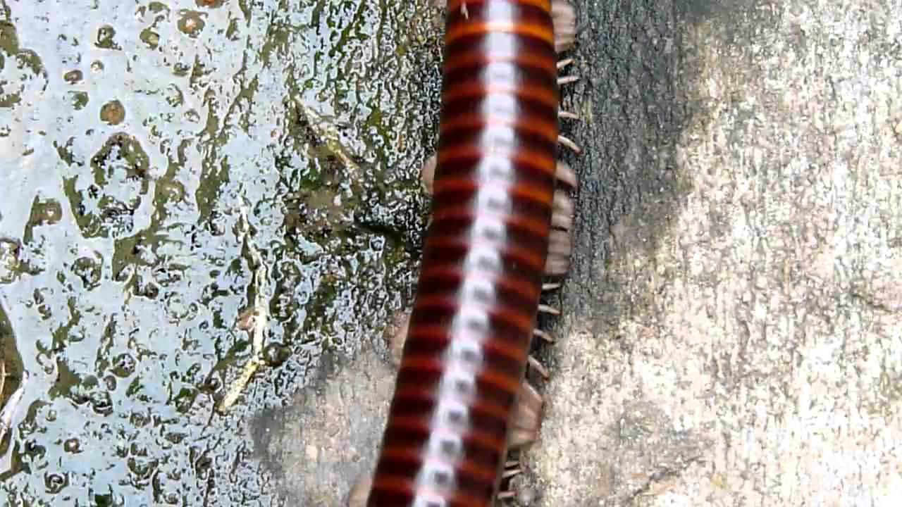 Embedded thumbnail for Ghana: Giant Millipede sp.