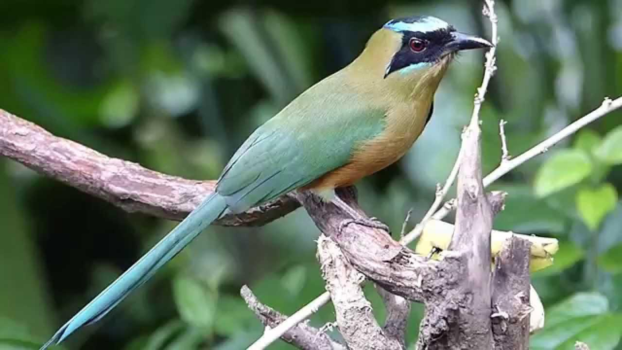 Embedded thumbnail for Colombia: Whooping Motmot (high speed video)