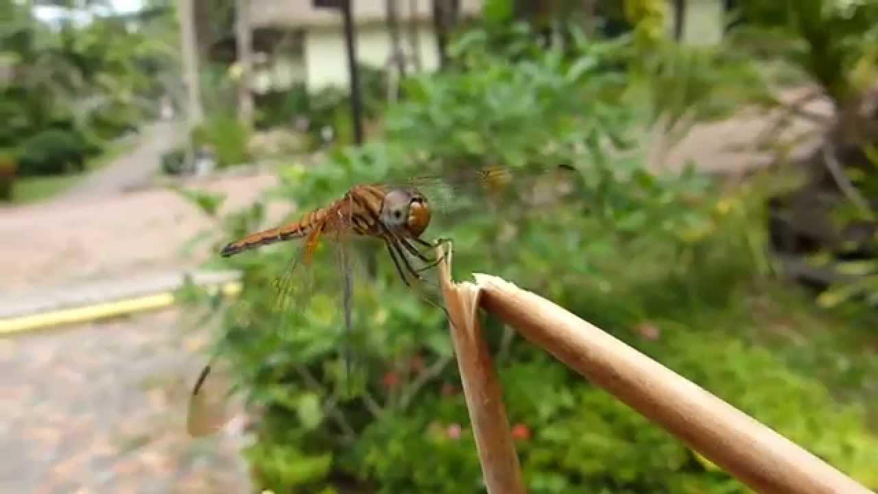 Embedded thumbnail for Thailand: Crimson Marsh Glider - Female