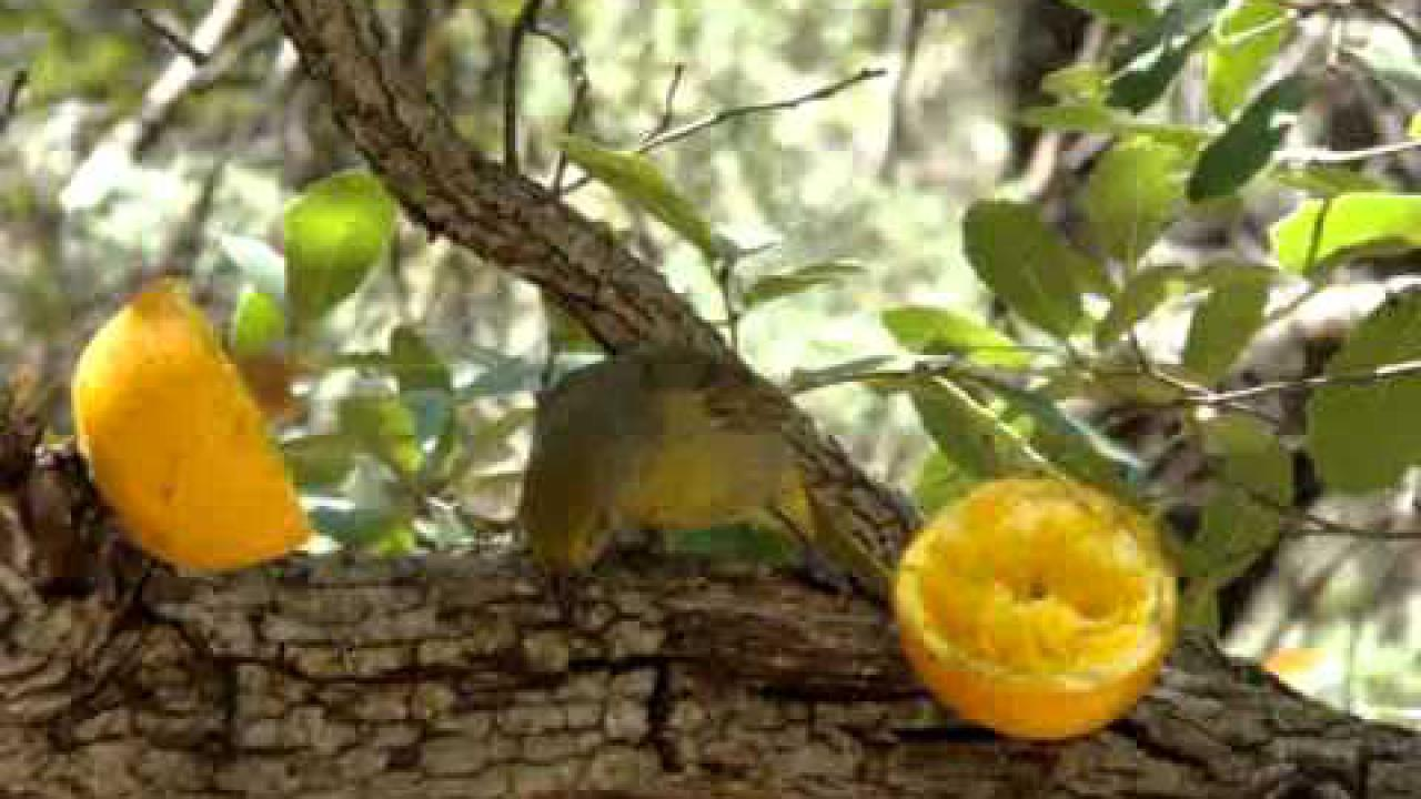 Embedded thumbnail for Arizona (USA): Hepatic Tanager