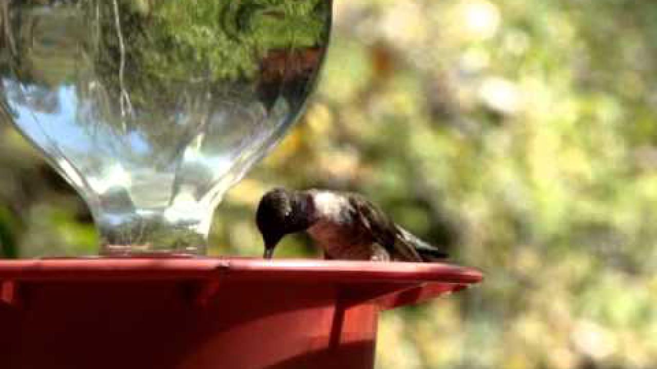 Embedded thumbnail for Arizona (USA): Black-chinned Hummingbird