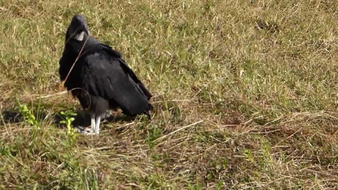 Embedded thumbnail for Florida (USA): Black Vulture