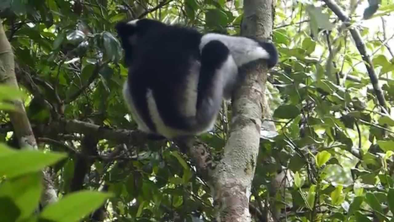 Embedded thumbnail for Madagascar: Indri - Chilling