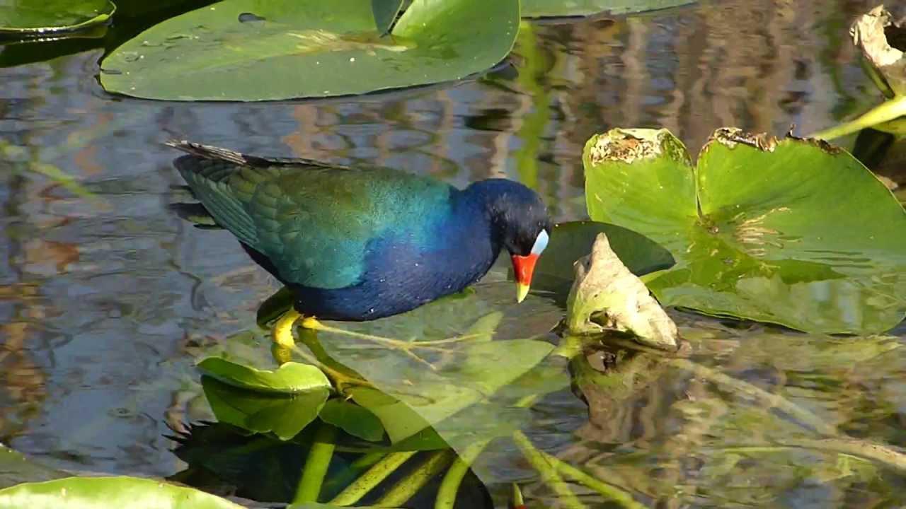 Embedded thumbnail for Florida (USA): Purple Galinule