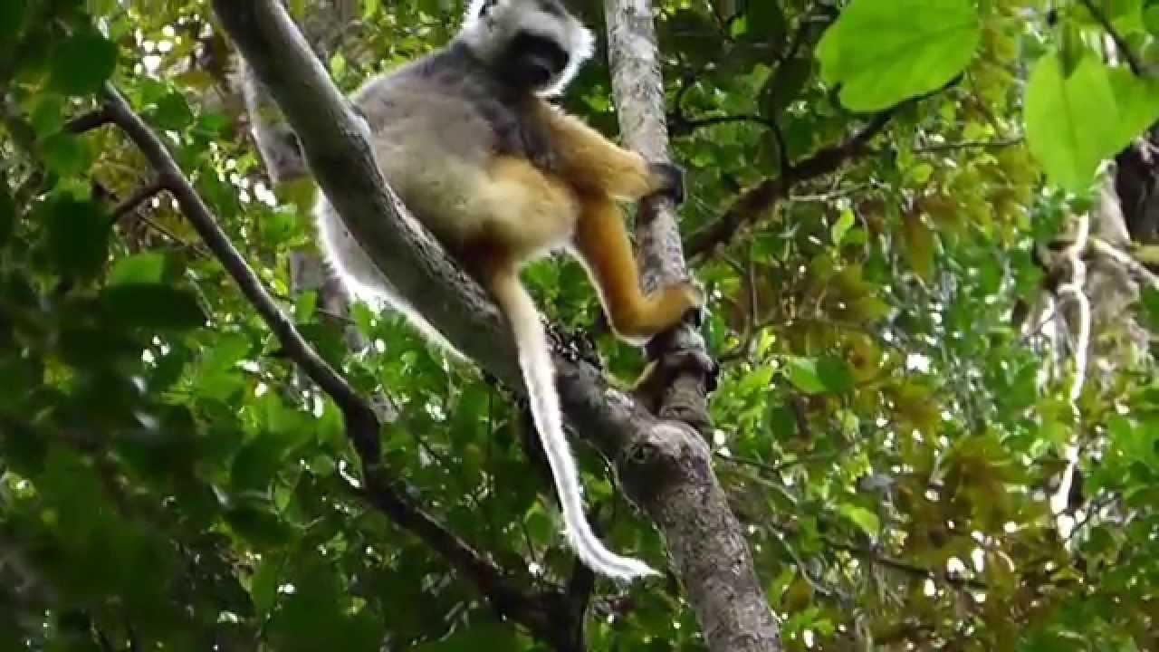 Embedded thumbnail for Madagascar: Diademed Sifaka - Chilling