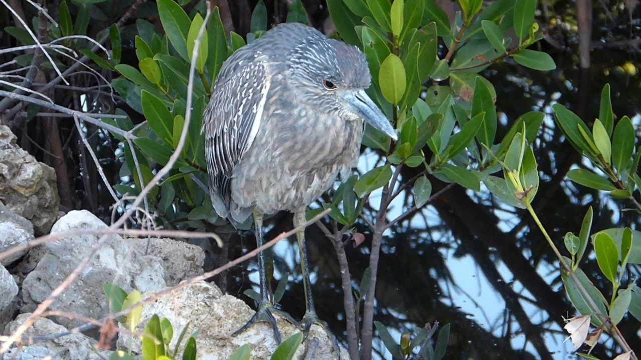 Embedded thumbnail for Florida (USA): Black-capped Night-heron (juvenile)
